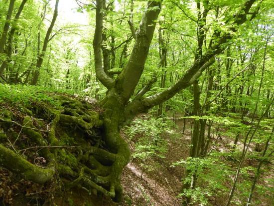 Hêtre vénérable de la forêt de Bacourt, cliché : HELICE BTPEI