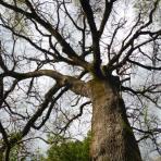 Chêne pubescent, Quercus pubescens