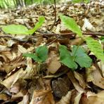 Plantules de Hêtre en forêt, semis, planter, arbre, Fagus sylvatica