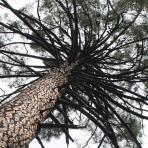 HELICE Bois tronc de pin maritime couvert de branches mortes